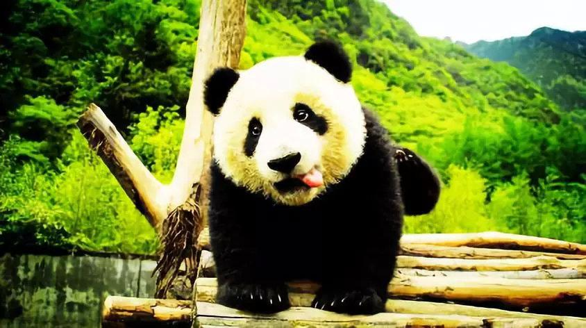 <b><font color='#332bd6'>冬令营预告丨动力青春国学少年邂逅大熊猫~</font></b>